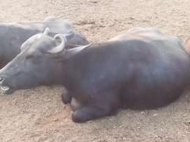 Buffalo for sale 4 month pregnant in just RS 175000
