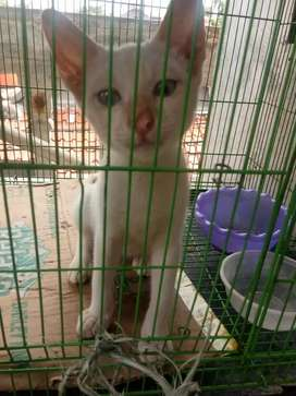 Kitten Himalayan Putih Mata biru sehat lincah aktif