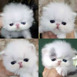 Super quality Persian kitten cash on delivery available
