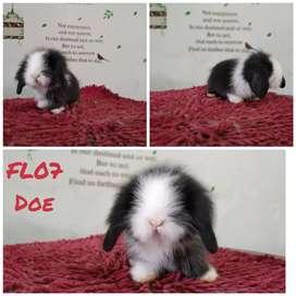 Kelinci fuzzy lop