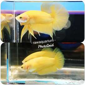 Ikan cupang yellow banan size m sepasang