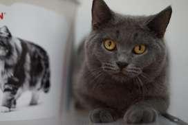kucing british short hair betina/BSH pure betina