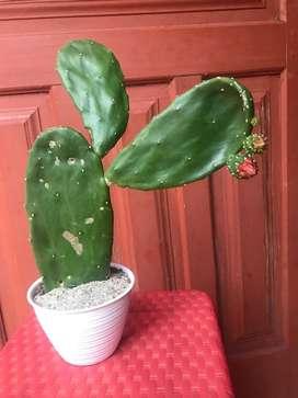 Kaktus centong ny manis ya