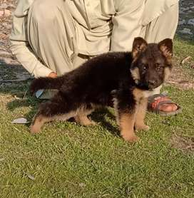 Pure Gsd long coat black Mas lowback female 2 month for sale