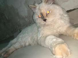 Cat 8 mohot old femal