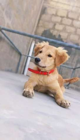 Golden retriever + labrador