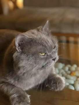 Persian cat adult male