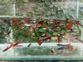 Ikan guppy baturaja