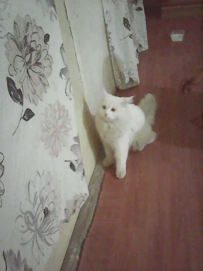 White persian ad 0