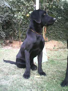 Labrador breeder pair available for sale