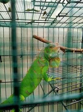 Green Iguana No Minus