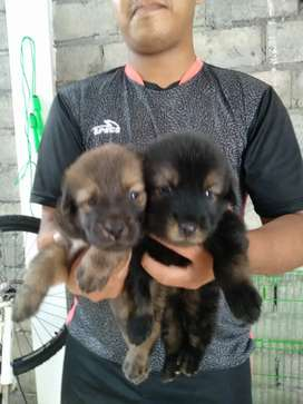 ANJING HERDER MIX ROT