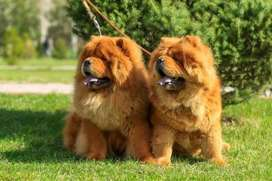Chow chow in lahore now