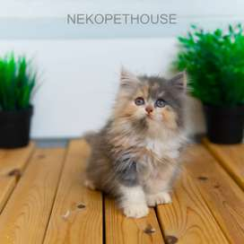 Kucing Kitten Persia longhair medium / flatnose / himalaya -  2