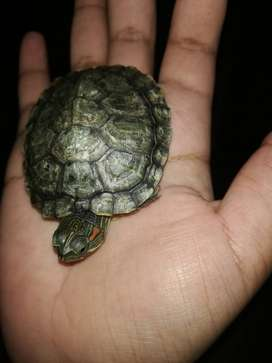 Red eared baby slider turtle