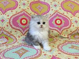 Creamy color Persian kitten for sale