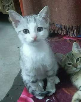 American shorthair and persian mix kitten