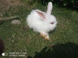 Jual Anak Kelinci anggora (Jaya Farm)