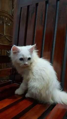 Persain cat
