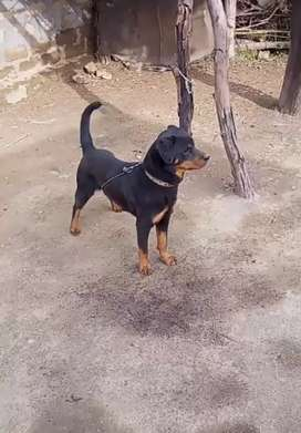 Rotweiller for sale