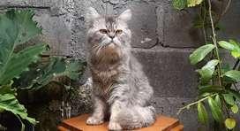 kucing persia medium jantan silver lucu