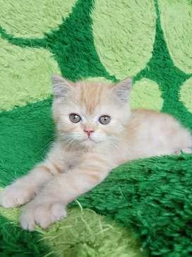 Kucing persia flatnose exotic short hair betina