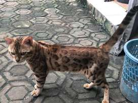 JUAL JASA PACAK Kucing