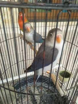 Love bird 3 ekor euwing