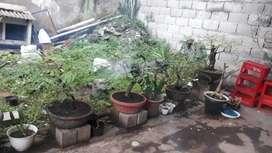 Tanaman bonsai asem (4 pot) usia rata rata belasan tahun