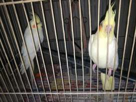 Lutino Cockatiel Pair German Breed Pair