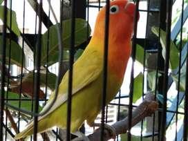 Lovebird PASKUN Cerah