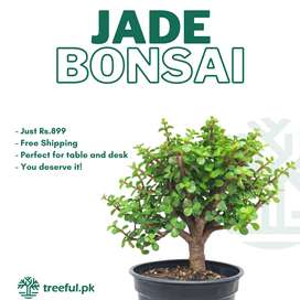 Jade Bonsai - Free Delivery