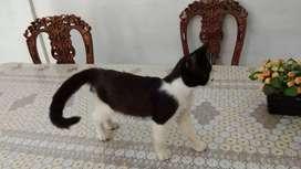 Lepas Adopsi kucing persia jantan