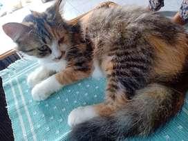 Kucing anggora betina calico
