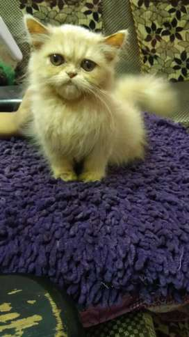 Persian cat triple coat 4months old female for sale