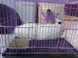 jual kelinci lokal + kandangnya