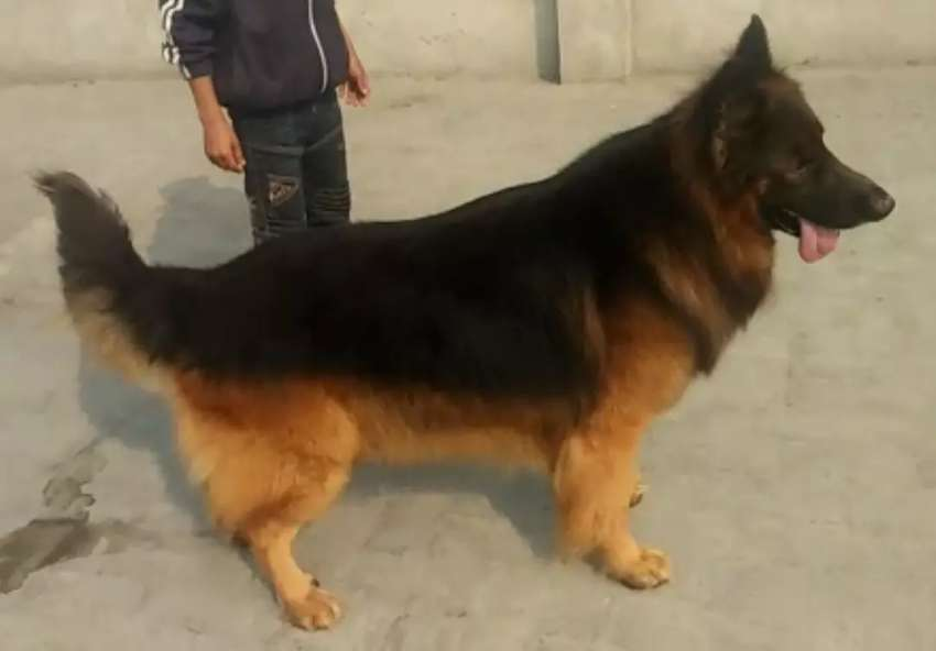 Triple coated male Not For Sale Only Stud 0