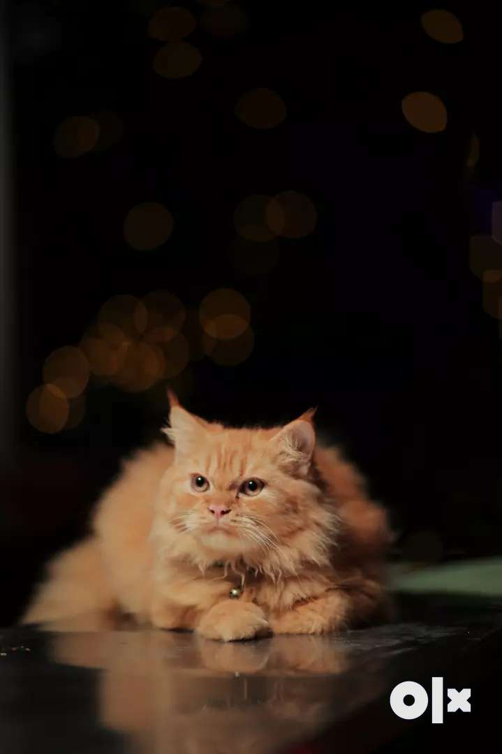 Semi punch doll faced persian cat is available for mating 0