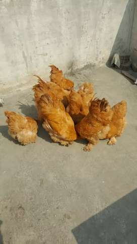 Imported hen and birds