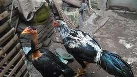 Ayam bangkok dan saigon