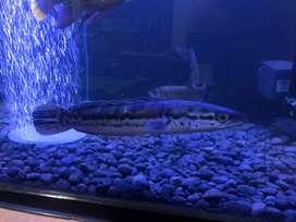 Aquarium / Ikan Chana maru 35cm