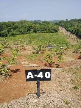 Punya Kebun Buah Menghasilkan Investasi Jangka Panjang