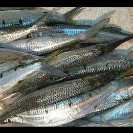 Ikan Puput & Gonggong