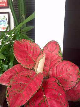 Aglonema super red kochin