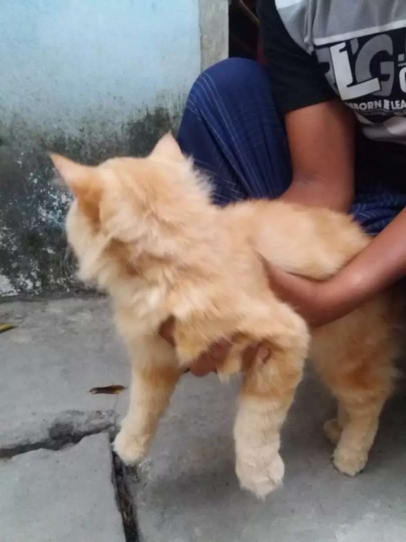 Kucing Persia 7 bulan 0