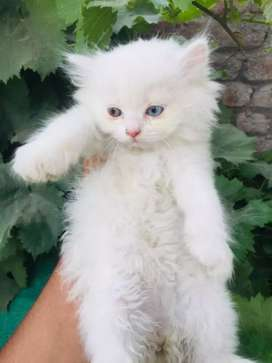 Persian kittens female