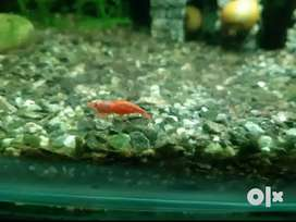 Red Chery Shrimps