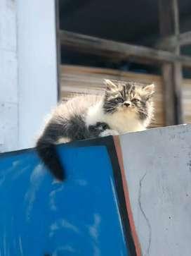 kucing super gembul dan ruwuk