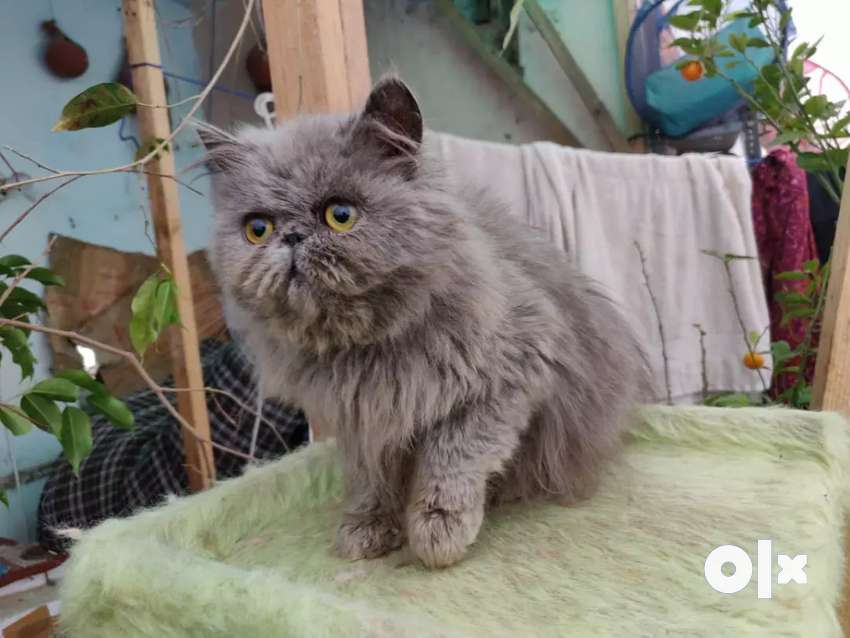 Extreme Punch Face Persian Kitten ( Male Available 0