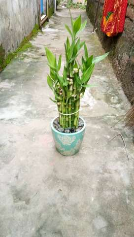 Lucky Bamboo with ceramic pot
